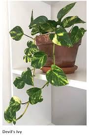 12 best indoor plants images on pinterest indoor plants spider
