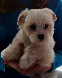 bichon frise qld absolutely adorable bichon frise u0027 cross maltese puppies for sale