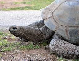 types of turtles giant tortoise reptile gardens reptile gardens