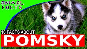 pomsky dogs 101 the adorable pomeranian husky mix pomsky u2013 animal