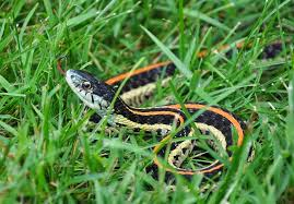 How To Avoid Snakes In Backyard Chicken Tales An Egg Eating Snake Community Chickens