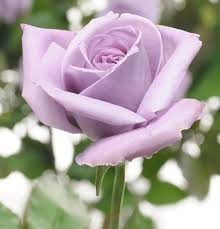 purple roses for sale world s blue soon available in u s wired