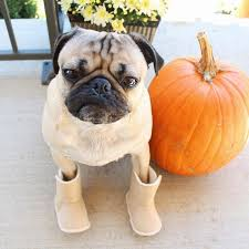 48 best pug thanksgiving images on thanksgiving pugs