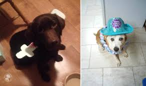 in costumes happy labradors in costumes it s a lab thing