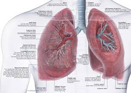 Anatomy Slides Anatomy Of The Lungs And Heart Image Collections Learn Human