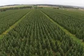 amazing footage captures uk u0027s largest christmas tree farm from
