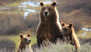 North Dakota wild animals images Yellowstone wildlife guide including grizzly bears wolves jpg