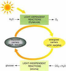 What Happens During The Light Dependent Reactions Of Photosynthesis Light Dependent Reactions Flow Chart Google Search Biology