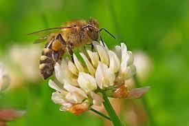 Seeking Honey A Honey Bee Seeking Nectar And Pollen On A White Clover Flickr