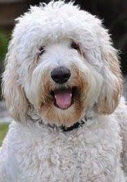 goldendoodle puppy treats is an f1b medium goldendoodle doodles