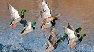 find out ducks flying over water wallpaper on http hdpicorner