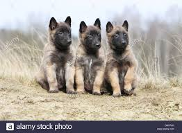 belgian sheepdog short hair dog belgian shepherd malinois three puppies sitting on the sand