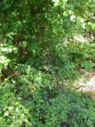 escape of the invasives top six invasive plant species in the west rock trails invasive species natural world bullies