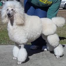 standard poodle hair styles best poodle haircut styles hairstyles for poodle best