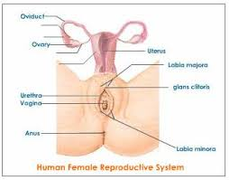 Female Meatus Anatomy Female Reproductive System Explained With Diagrams Reproductive