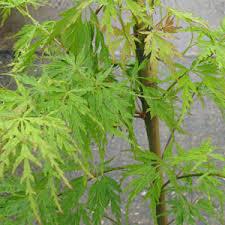 cheap trees buy fruit trees small trees