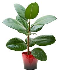 biggest house plants alaska home articles cleaning the house with houseplants