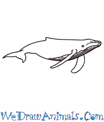 coloring page dazzling draw humpback whale coloring page draw