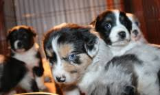 4 week old australian shepherd about stonger miniature and standard aussies