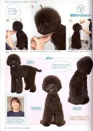 different toy poodle cuts huxtable the poodle toy poodle blog parti poodle japanese style