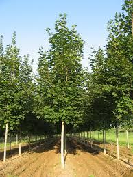 acer saccharum green mtn sugar maple scenic hills nursery
