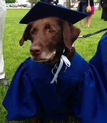 dog graduation cap and gown the service dog graduates with his human