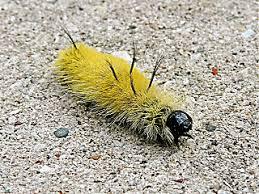 dagger moth caterpillar sassy priscilla
