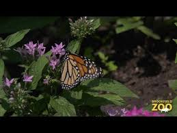 let s hear it for the guys episode 1 monarch butterflies
