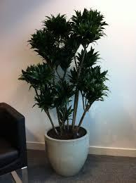 homelife top 15 indoor plants plants u0026 planters dracaena marginata madagascar dragon tree