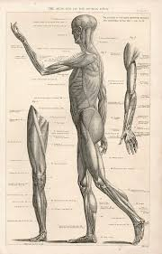 The Human Anatomy Muscles Figure Drawing How To Draw The Muscles Of The Human Body Old