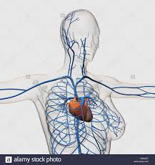 chest vein anatomy choice image learn human anatomy image