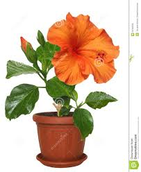 potted flowers potted flowers hibiscus stock image image of aroma gourmet