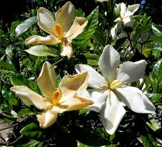 Fragrant Tropical Plants - even single flowered gardenias have that signature fragrance