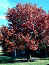best 25 red oak tree ideas on pinterest oak tree tree