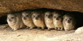 5 interesting facts about rock hyraxes hayden u0027s animal facts