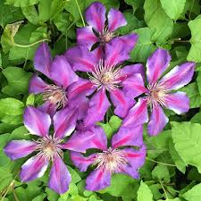 clematis american beauty white flower farm