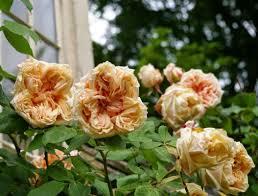 gloire de dijon climbing rose