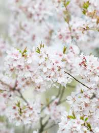 13 flowering trees for year color hgtv