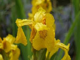Flag Flower Yellow Flag Iris Ramblin U0027 Through Dave U0027s Garden