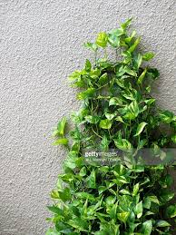 closeup of philodendron plants growing against wall stock photo