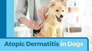 atopic dermatitis causes symptoms u0026 treatments petmd