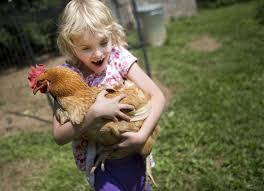 salmonella warning don u0027t snuggle with backyard chickens life
