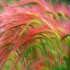 pink foxtail barley ornamental grass seeds seeds