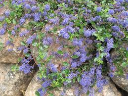 california native plants landscaping manzanita mania an exploration of california native plants page 3