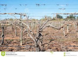 close view of grape vine canes on trellis stock photo image