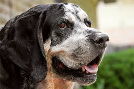 bluetick coonhound labrador retriever mix for sale bluetick coonhound dog breed information pictures