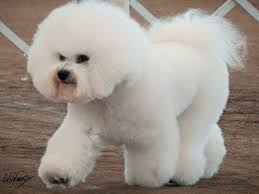 6 month old bichon frise for sale bestow bichons bichon frise puppies for sale