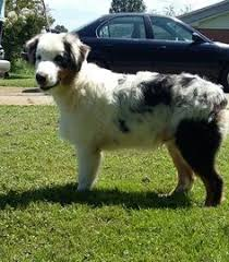 1 year old australian shepherd for sale chow chow german shepherd dog mix puppy for sale in east earl pa