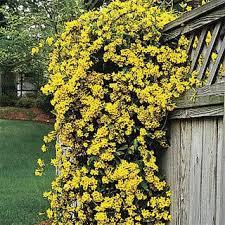Fragrant Jasmine Plant - best 25 carolina jasmine ideas on pinterest star jasmine vine