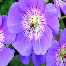 purple lilac fuchsia violet perennials garden plants